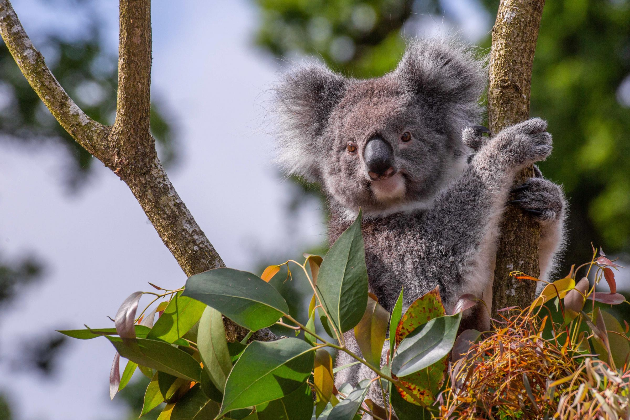Koalas DNA could save wild species