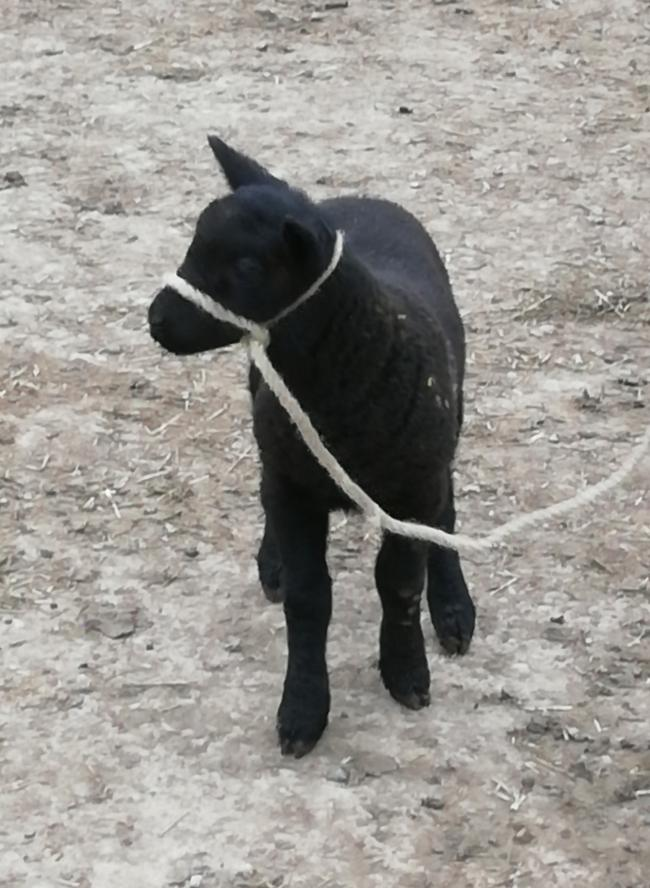 Blackberry the lamb tries her new halter for size