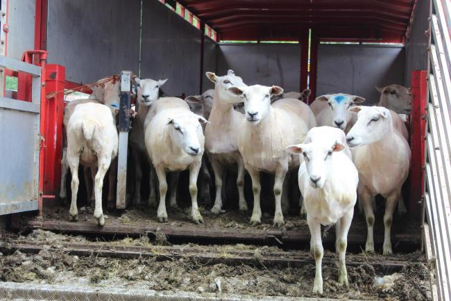 Shorn sheep waiting to be taken back to their fields