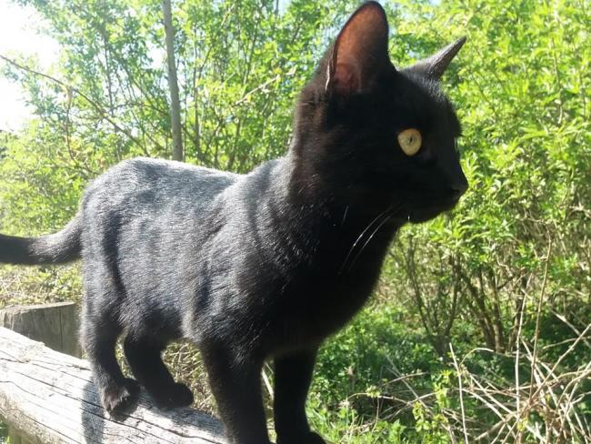 Minty, the 17-month-old black female cat which died after being slashed at Corston