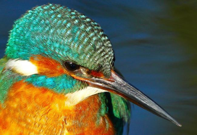 A brightly-coloured kingfisher sits waiting for lunch to swim past, by Richard Bradshaw