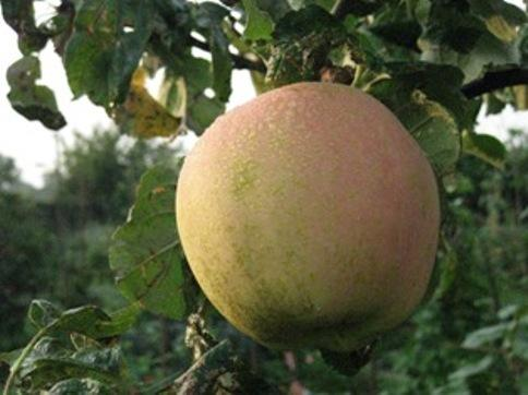 Trowbridge's apple festival is on October 13