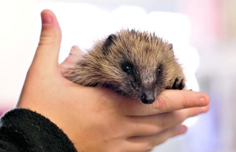Plea to care for early hedgehogs