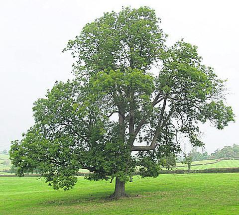 Ash trees, like this one, are at risk from a deadly fungus