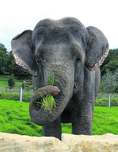 Anne the elephant in her paddock at Longleat