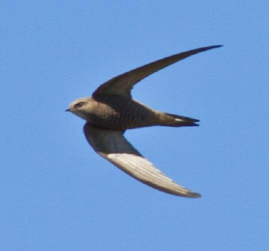 Wiltshire Times: Bradford on Avon group formed to save swifts
