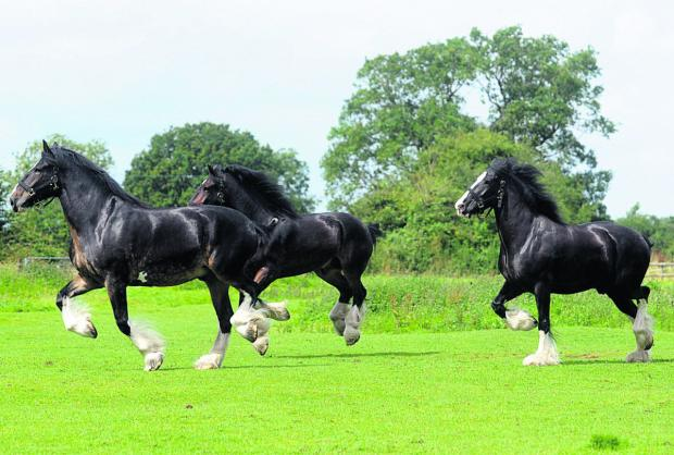 Wiltshire Times: Wadworth shire horses to star at Lacock