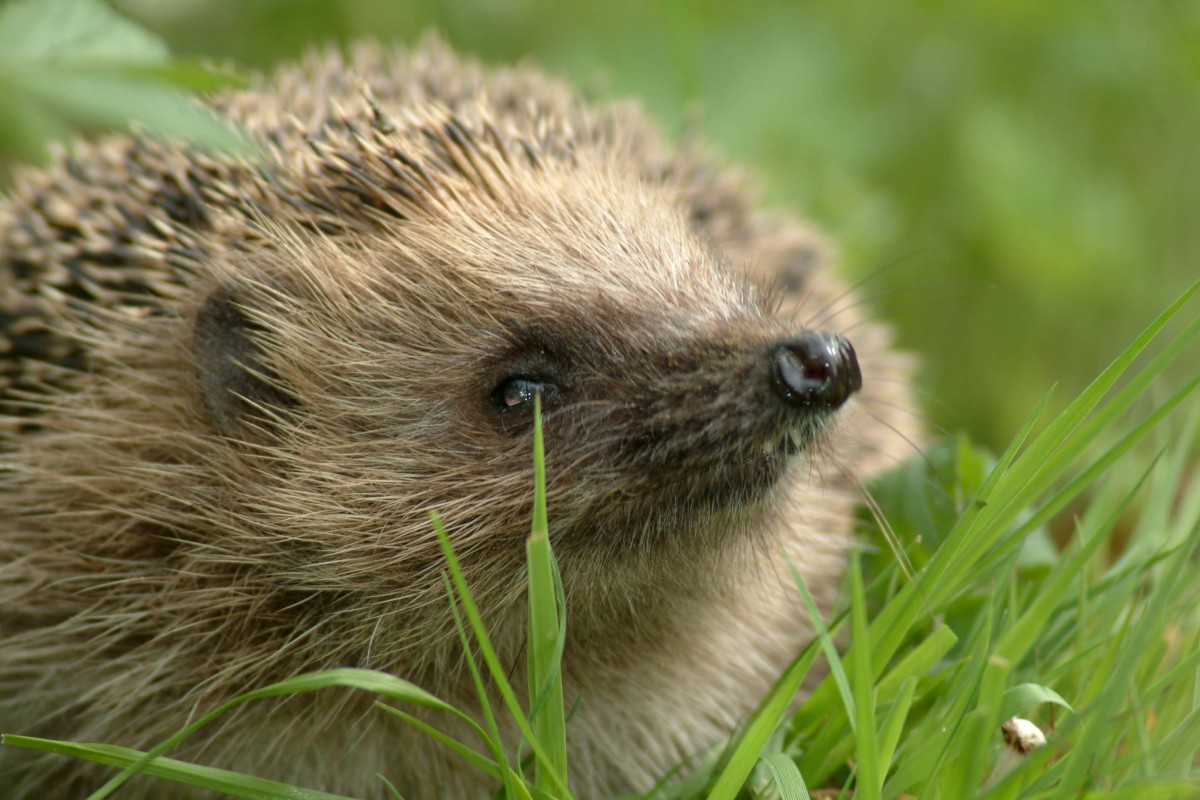 Hedgehog numbers are down by over a third in the last ten years