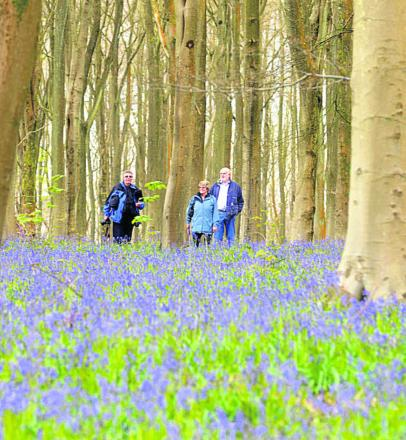 A good showing of bluebells in West Wood, Lockeridge, in 2012