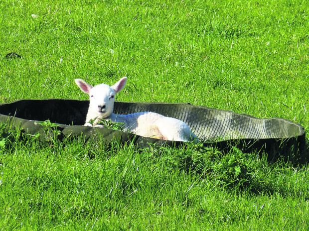 A lamb takes a leisurely rest in a feed bowl in a paddock at Stowell Farm. Lambing season is almost over on the farm