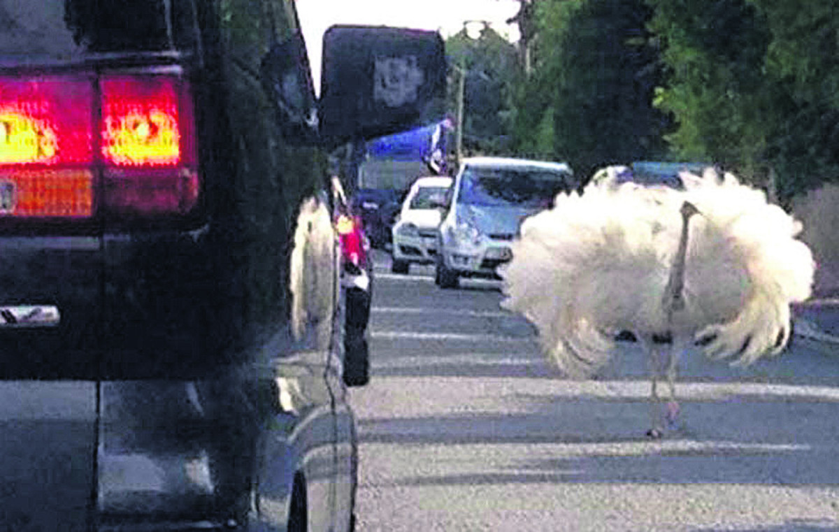 Is that an ostrich in the High Street? Rhea on the run ruffles feathers in Warminster