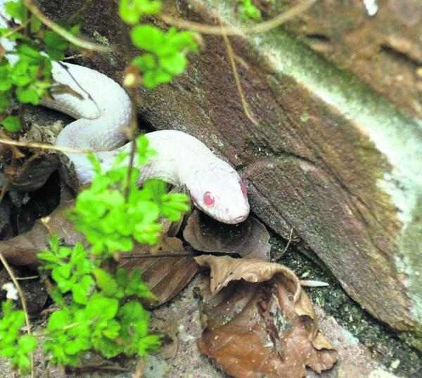 Escaped corn snake is startling sight in Westbury