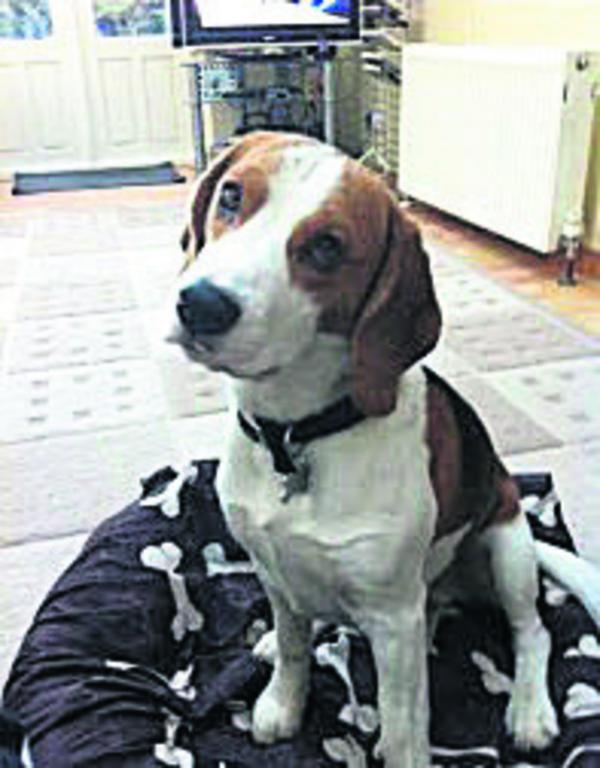 Have you seen Conker, a Beagle which has gone missing in Westbury?