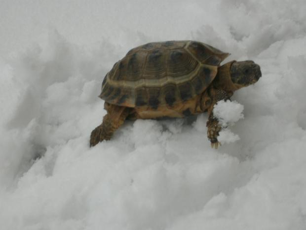 Have you seen runaway tortoise Boris in Bradford on Avon?
