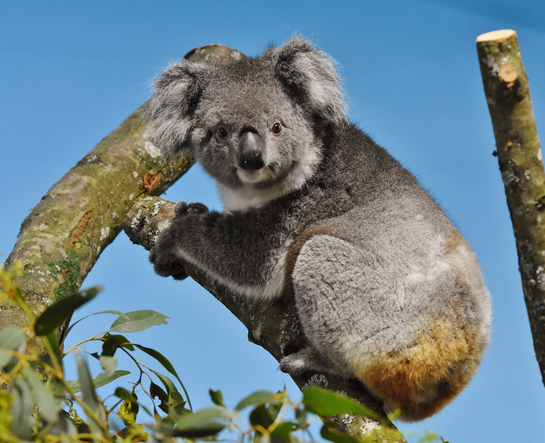 One of the four female koalas settling into her new home at Longleat