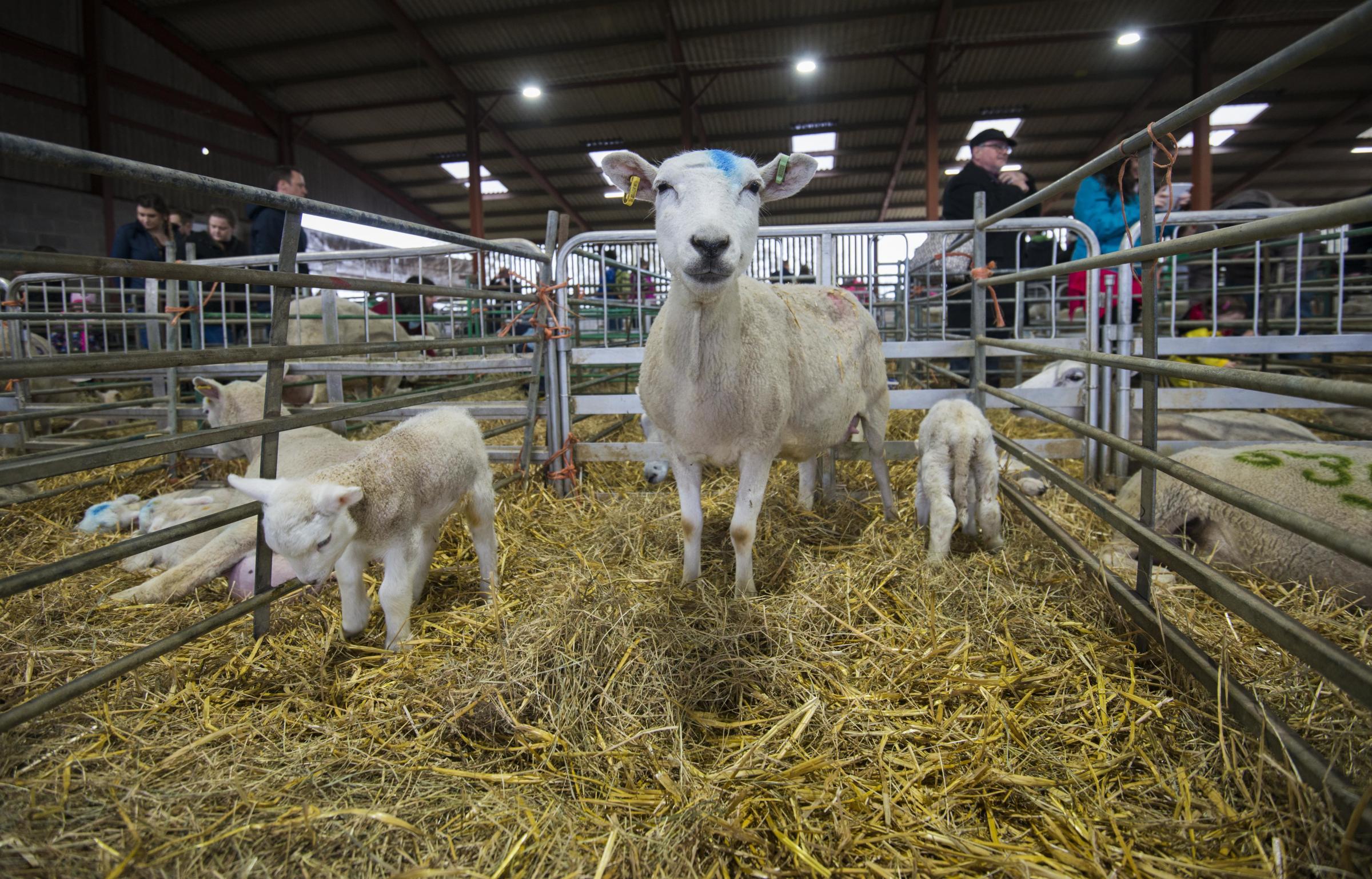 Spring lambs on display at Lackham this weekend